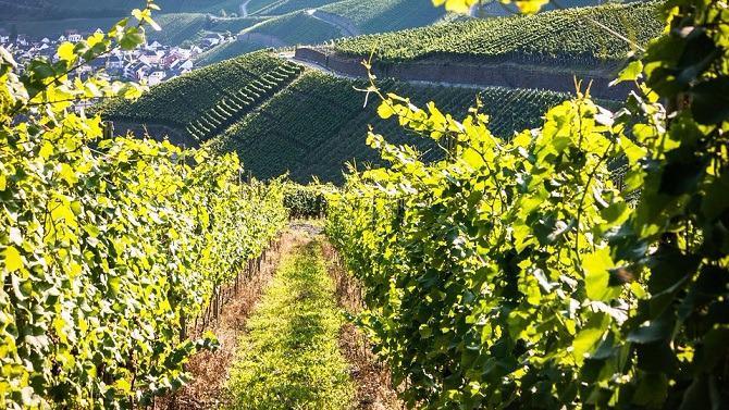 C'est l'estimation du nombre d'hectolitres de vin qui sera récolté en France en 2017 selon Agreste, le service statistique du Ministère de l'agriculture et de l'alimentation.
