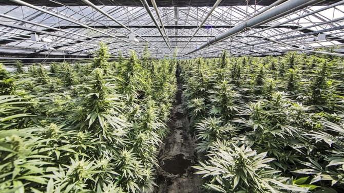 Phytocann, l'entreprise suisse spécialisée dans le CBD (la molécule du cannabis uniquement utilisée à des fins thérapeutiques déclinable en crème, huiles, gélules) débarque sur le marché français. Plusieurs postes sont à pouvoir sur la plateforme de Pôle Emploi.